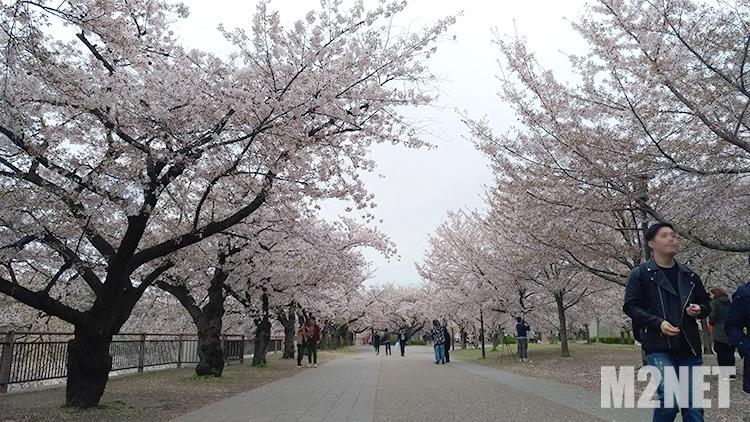 大阪城公園 桜満開その2